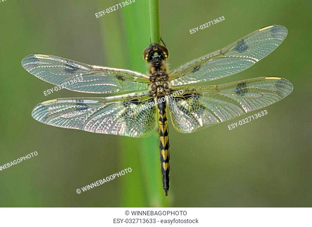 A Calico Pennant Dragonfly (Celithemis elisa) warms itself in the sun while resting on blade of grass