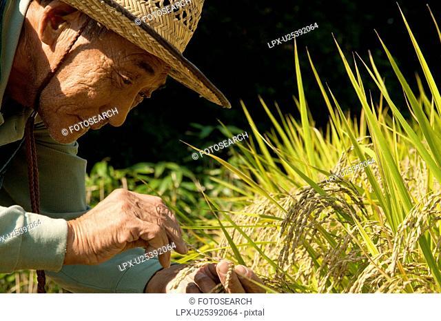 Senior Man Harvesting Rice