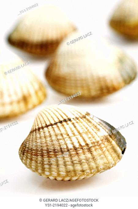 Common Cockle, cerastoderma edule, Fresh Shells against White Background
