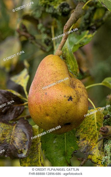 Fruit deformity on Common Pear, Pyrus communis, 'Doyenne du Comice', caused by pear stony pit virus, PSPV, Berkshire, England, October