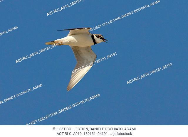 Little Ringed Plover in flight, Little Ringed Plover, Charadrius dubius