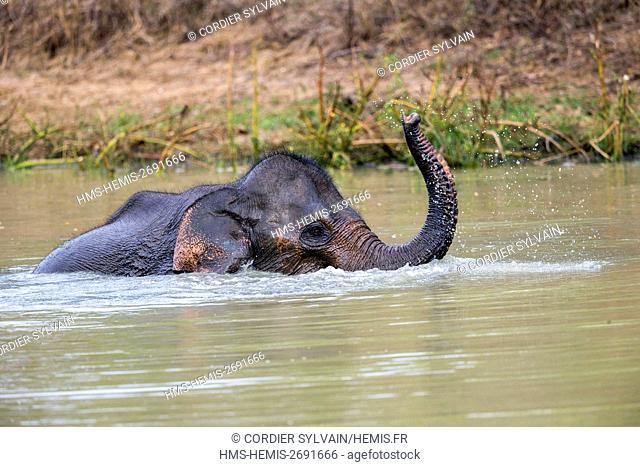 Sri Lanka, Yala national patk, Sri lankan elephant (Elephas maximus maximus), baby drinking and playing in the water