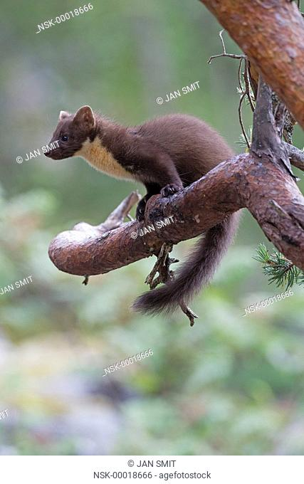 Pine Marten (Martes martes) sitting in tree, Norway, M re og Romsdal, Molde
