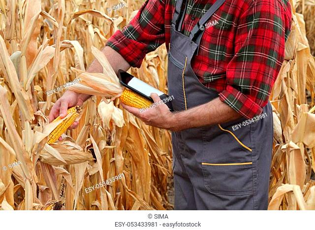 Farmer or agronomist examining corn plant in field after drought using tablet, harvest time