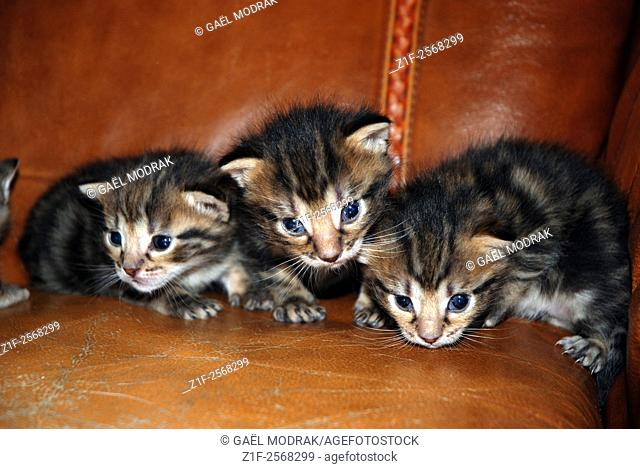 Three youngs kittens on a leather armchair