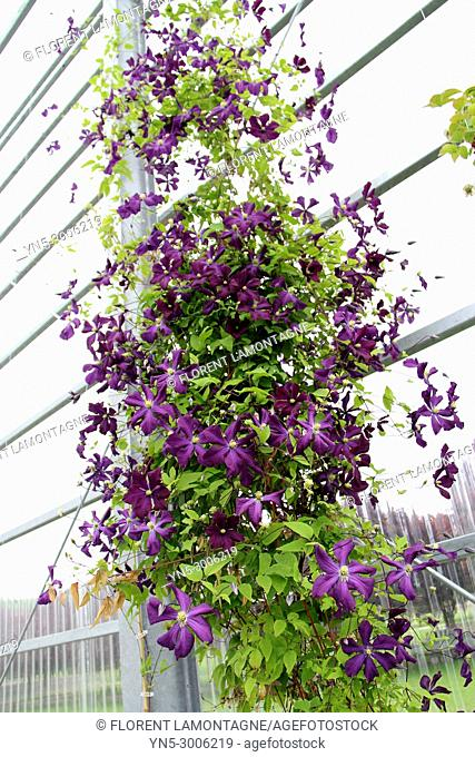 Climbing clematis Vyvyan Pennell indoor in a greenhouse