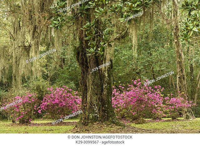 Flowering azaleas and southern live oak in early spring, Jungle Gardens, Avery Island, Louisiana, USA