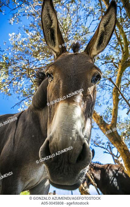 Donkey. Pyrgos. Santorini Island. Ciclades Islands. Greece