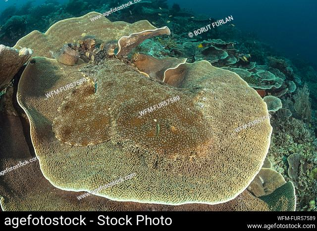 Tasselled Wobbegong, Eucrossorhinus dasypogon, Raja Ampat, West Papua, Indonesia