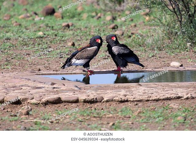 Pair of bateleur standing at a waterhole busy with courtship