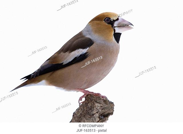 Hawfinch / Coccothraustes coccothraustes