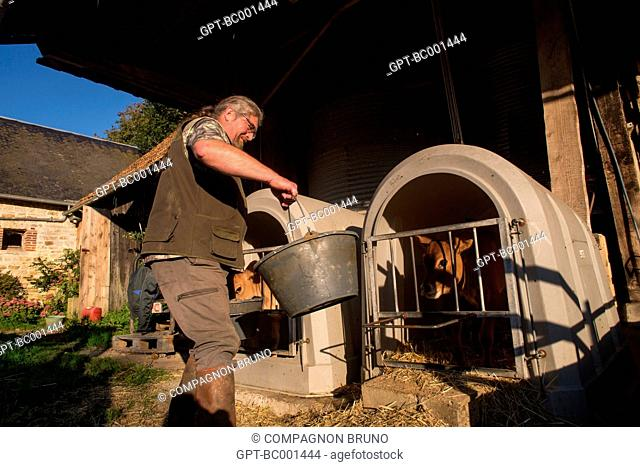 FARMER FEEDING HIS CALVES IN THE STALLS, JERSEY COWS, (61) ORNE, LOWER NORMANDY