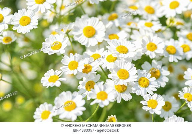 Feverfew, also bachelor's buttons or featherfew (Tanacetum parthenium) flowers, Hesse, Germany