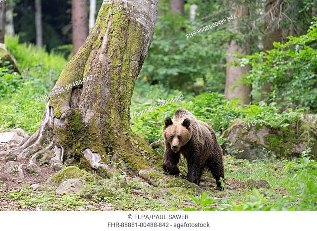 European Brown Bear (Ursus arctos arctos) adult, walking in woodland, Transylvania, Romania, June