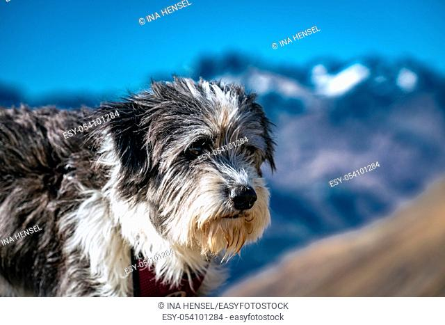 Portrait of a fluffy black and white dog high up on a mountain at the Timmelsjoch alpine pass with the Texel group mountains in the background