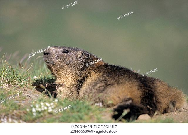 Alpine Marmot sunbathing