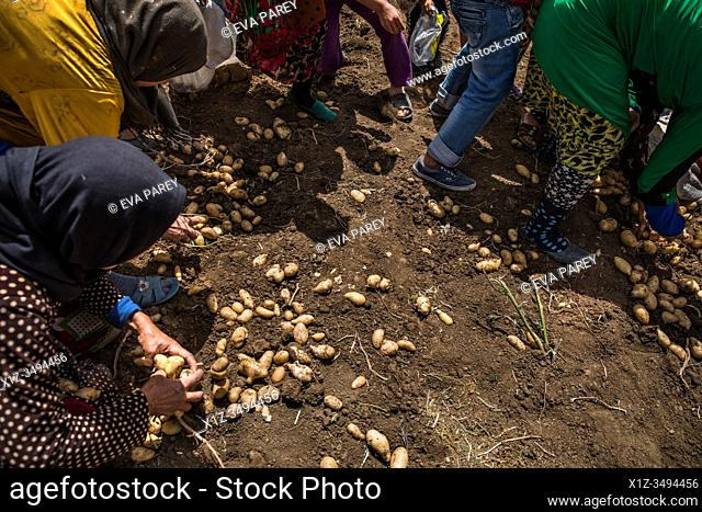 Unemployed women and children syrian refugee pick potatoes without permission in a lebanese farm. . Syrian refugees, women and girls, fleeing from war