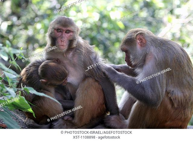 India Rhesus Macaque Macaca mulatta Monkey mother and young