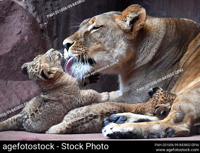 06 October 2020, Thuringia, Erfurt: Two out of three baby lions and the lion mother Bastet show themselves in the lion savannah in the Thuringian zoo park