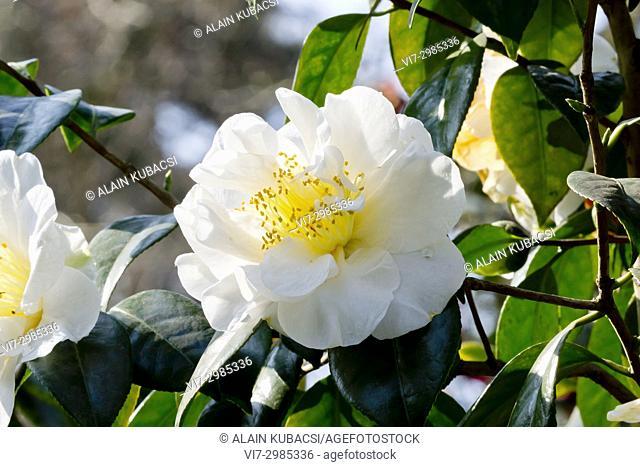Camellia japonica 'Fostine' France 1890