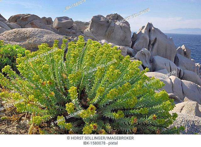 Mediterranean Spurge (Euphorbia) in jagged granite rock formation, Capo Testa, Sardinia, Italy, Europe