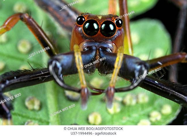 Jumping spider Salticidae. Image taken at Kampung Skudup, Malaysia