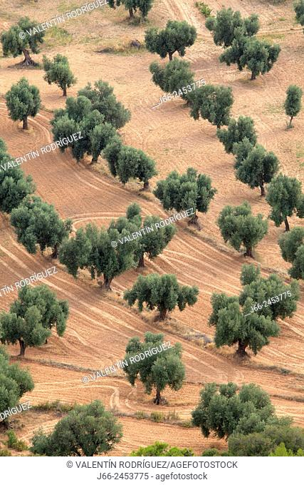 Agricultural landscape of olive groves in Belmonte de San José, Mezquín region, Bajo Aragón, Teruel province, Aragon, Spain