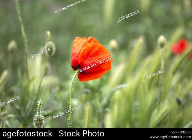 Beautiful flowering meadow with poppies and daisies on a cloudy afternoon cereal plantation Gudar mountains in Teruel Spain