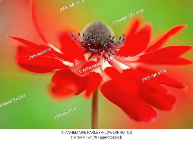 Anemone coronaria, red and white flower viewed from the side with a dynamic appearance showing centre cone and stamens