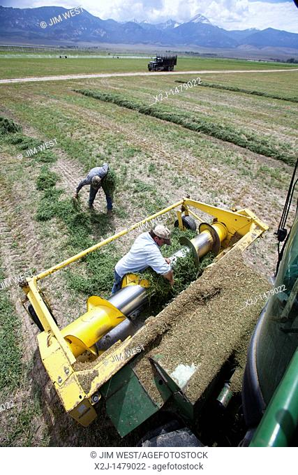 Baker, Nevada - Workers harvest alfalfa hay on the Baker Ranch  They stopped the machinery to search for a piece of metal mixed in with the alfalfa  The ranch...