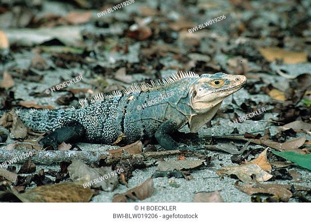 spiny-tailed iguana Ctenosaura similis, Dez 99