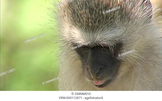 CU Vervet Monkey eating / Vervet Monkey Foundation, Tzaneen, South Africa
