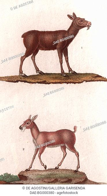 1 Siberian musk deer (Moschus moschiferus), 2 Royal antelope (Neotragus pygmaeus), colour copper engraving, retouched in watercolour, 9x15 cm