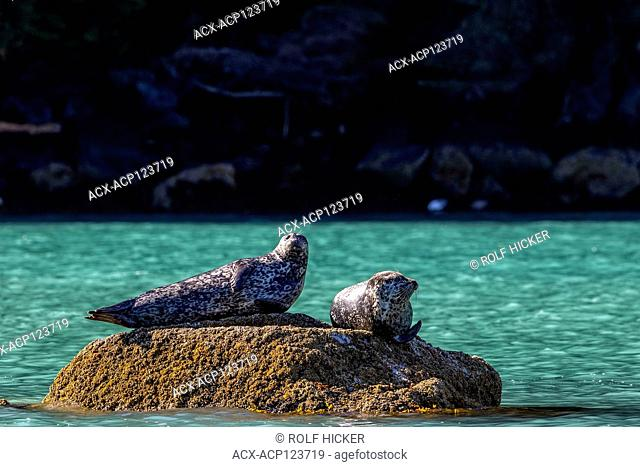 Two harbour seals resting on a rock along the shoreline in Knight Inlet, First Nations Territory, Great Bear Rainforest, British Columbia, Canada