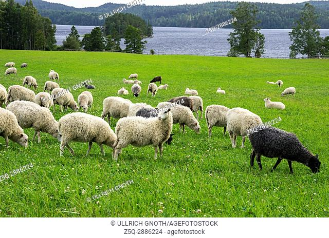 Flock of sheep on a meadow at some lake in Dalsland, Sweden