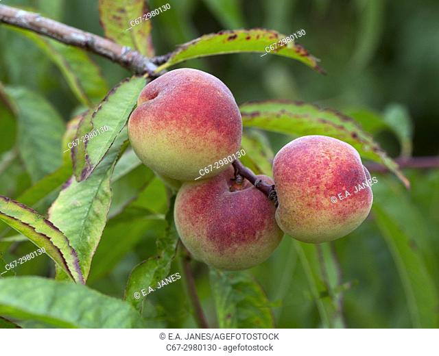 Peach Tree Prunus persica Melred growing in container