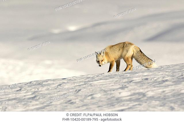 American Red Fox (Vulpes vulpes fulva) adult, standing on snow, Yellowstone N.P., Wyoming, U.S.A., February