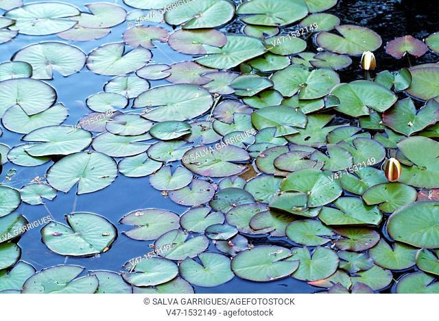 Waterlilies, Santiago de Compostela, Coruña, Galicia, Spain, Europe