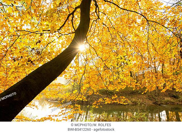 common beech (Fagus sylvatica), light beams between autumn leaves at the Hunte, Germany, Lower Saxony, Oldenburger Land, Doetlingen