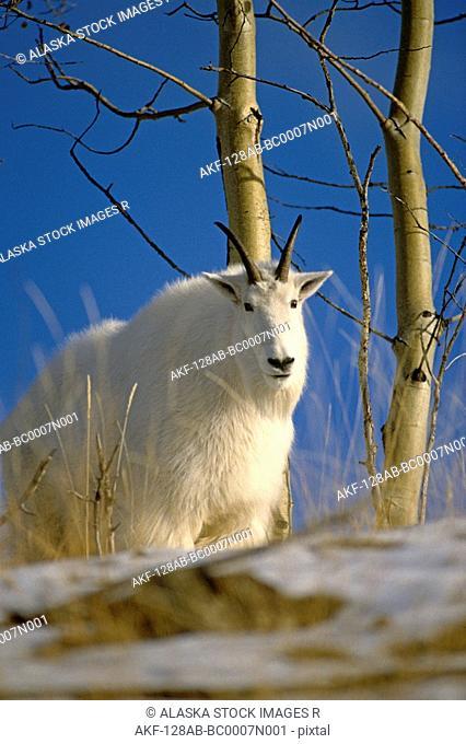 Female Mountain Goat on Mountain Side Aspen Fall
