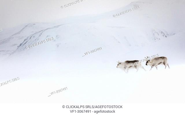 Svalbard reindeer (Rangifer tarandus platyrhynchus) in Spitsbergen
