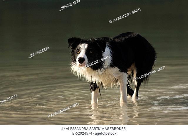 Border collie standing in the water, displaying herding eye