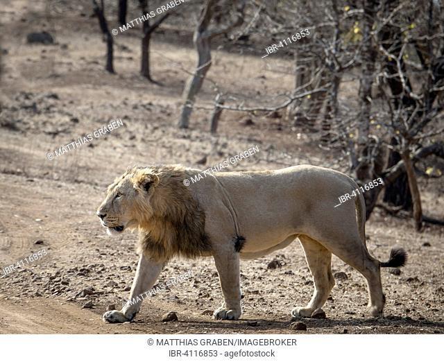 Asiatic lion (Panthera leo persica), male, roaming, Gir Interpretation Zone or Devalia Safari Park, Gir Forest National Park, Gir Forest National Park, Gujarat