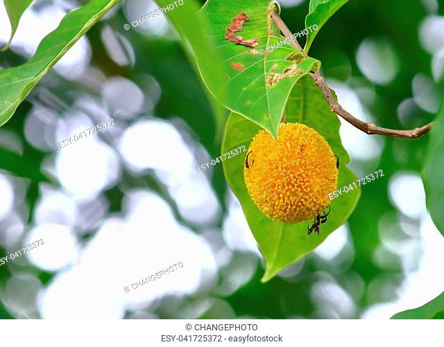 Anthocephalus chinensis on tree in fresh natural