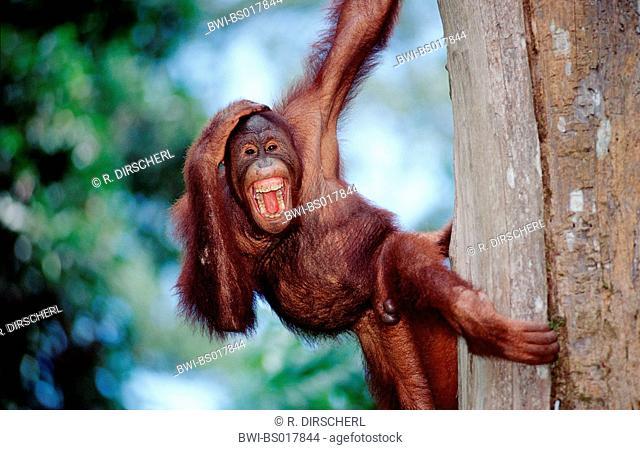 orang-utan, orangutan, orang-outang (Pongo pygmaeus), young screaming, hanging at tree, Malaysia, Sabah, Sepilok
