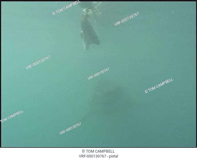 Great white shark Carcharodon carcharias, at bait at back of boat. South African waters