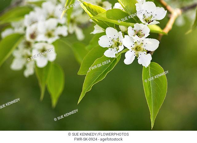Pear, Le Conte pear Pyrus x lecontei, Tiny white blossoms grbowing outdoor