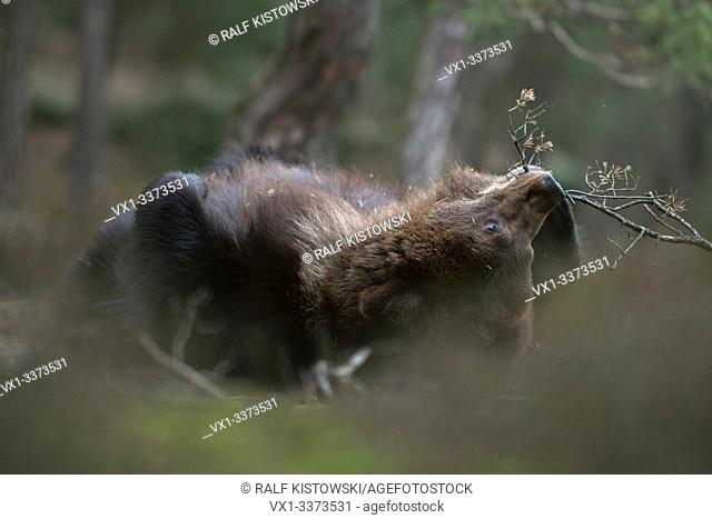 European Brown Bear / Braunbaer ( Ursus arctos ), playful cub, lying, rolling on its back in the undergrowth, biting on a little twig, looks cute and funny