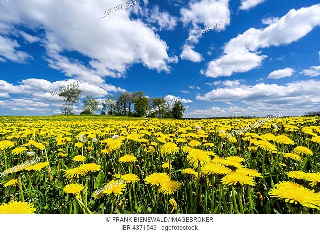 Landscape with trees and many yellow Dandelion flowers (Taraxacum officinale), Cunnersdorf, Saxony, Germany