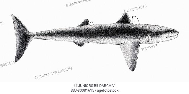 DEU, 2008: Ancient Shark (Cladoselache), drawing. Late Devonian (370 million years ago)